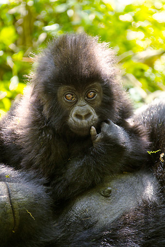 PRM 01 MC0139 01 © Kimball Stock Portrait Of Mountain Gorilla Mother And Baby Resting In Rwanda Jungle