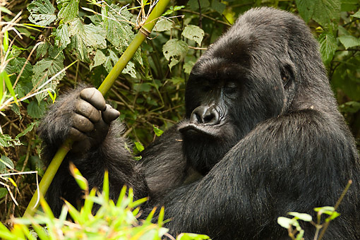 PRM 01 MC0143 01 © Kimball Stock Mountain Gorilla Holding Bamboo In Jungle, Rwanda