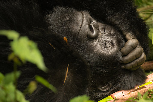 PRM 01 MC0146 01 © Kimball Stock Mountain Gorilla Female Resting In Jungle, Rwanda