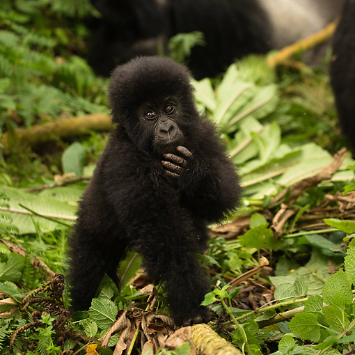 PRM 01 MC0147 01 © Kimball Stock Mountain Gorilla Baby Playing In Jungle, Rwanda