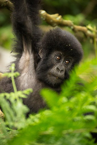 PRM 01 MC0148 01 © Kimball Stock Mountain Gorilla Baby Playing In Jungle, Rwanda