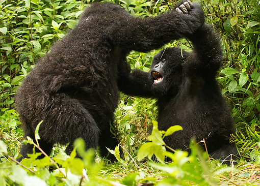 PRM 01 MC0149 01 © Kimball Stock Mountain Gorilla Babies Play Fighting In Jungle, Rwanda