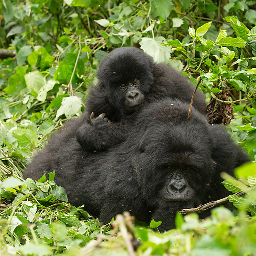 PRM 01 MC0150 01 © Kimball Stock Mountain Gorilla Baby Hanging With Mother, Rwanda