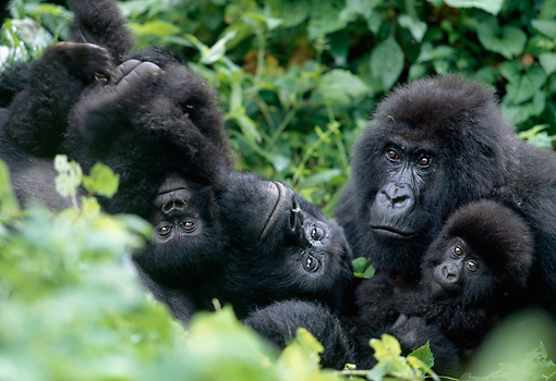 PRM 01 MH0002 01 © Kimball Stock Mountain Gorilla Adults And Babies Sitting In Vegetation