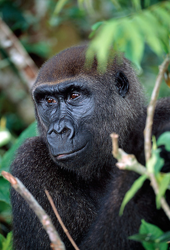 PRM 01 MH0005 01 © Kimball Stock Portrait Of Western Lowland Gorilla Sitting In Vegetation