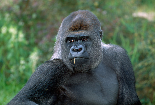 PRM 01 MH0007 01 © Kimball Stock Portrait Of Western Lowland Gorilla Sitting In Vegetation
