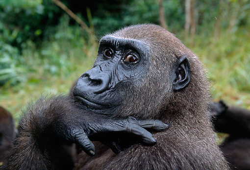 PRM 01 MH0008 01 © Kimball Stock Portrait Of Western Lowland Gorilla Sitting In Vegetation