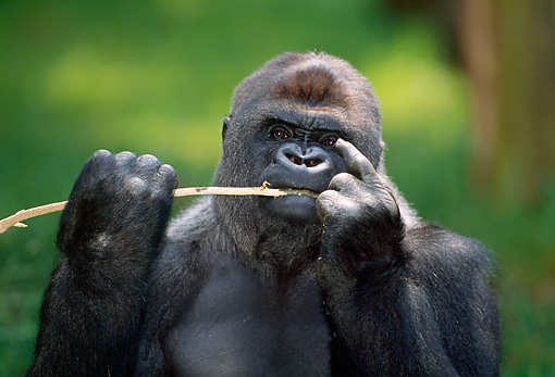 PRM 01 MH0009 01 © Kimball Stock Portrait Of Western Lowland Gorilla Sitting In Vegetation Eating Bamboo