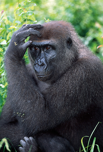 PRM 01 MH0011 01 © Kimball Stock Portrait Of Western Lowland Gorilla Sitting In Vegetation