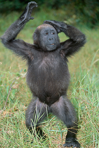 PRM 01 MH0013 01 © Kimball Stock Portrait Of Western Lowland Gorilla Baby Standing In Grass With Hands Above Head
