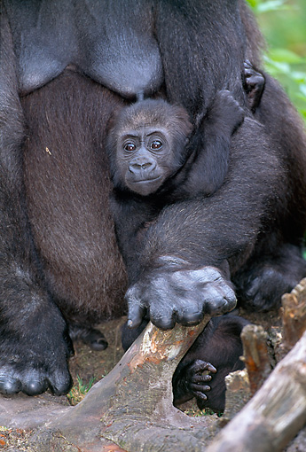 PRM 01 MH0014 01 © Kimball Stock Portrait Of Western Lowland Gorilla Baby Clinging To Mother In Jungle
