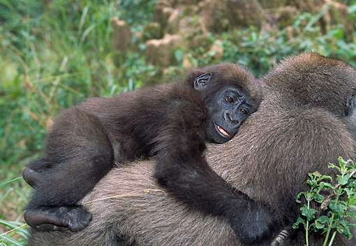 PRM 01 MH0016 01 © Kimball Stock Close-Up Of Western Lowland Gorilla Baby Riding On Mother's Back
