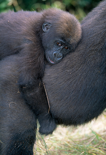 PRM 01 MH0017 01 © Kimball Stock Close-Up Of Western Lowland Gorilla Baby Riding On Mother's Back