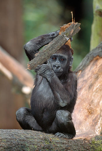 PRM 01 MH0020 01 © Kimball Stock Portrait Of Western Lowland Gorilla Baby Sitting On Log And Holding Up Bark
