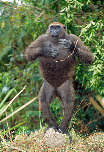PRM 01 MH0024 01 © Kimball Stock Western Lowland Gorilla Standing In Jungle Patting Chest