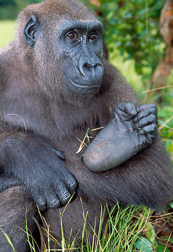 PRM 01 MH0025 01 © Kimball Stock Close-Up Of Western Lowland Gorilla Sitting In Jungle