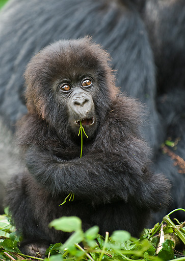 PRM 01 WF0011 01 © Kimball Stock Baby Mountain Gorilla Sitting In Front Of Mother While Chewing Twig