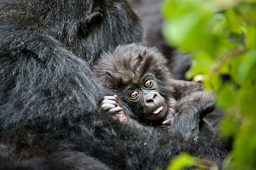 PRM 01 WF0012 01 © Kimball Stock Baby Mountain Gorilla Laying In Mother's Arms
