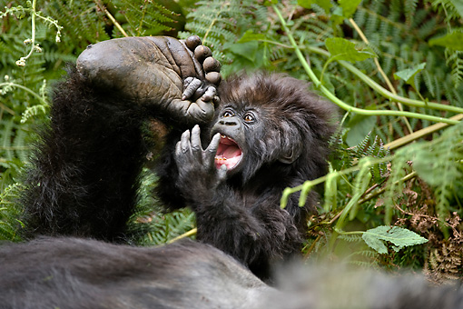 PRM 01 WF0013 01 © Kimball Stock Baby Mountain Gorilla Playing With Mother's Foot