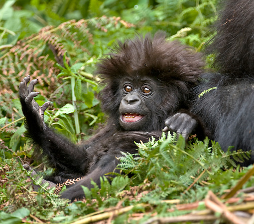 PRM 01 WF0014 01 © Kimball Stock Playful Baby Mountain Gorilla Sitting In Jungle
