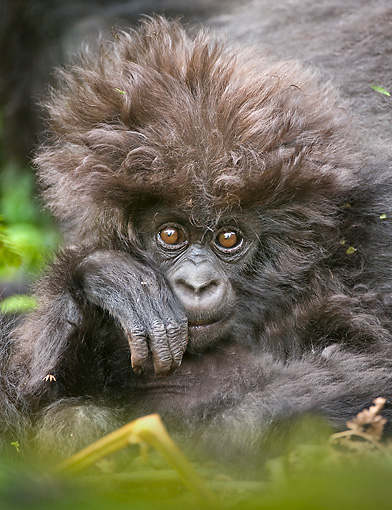 PRM 01 WF0015 01 © Kimball Stock Portrait Of Baby Mountain Gorilla Sitting In Jungle