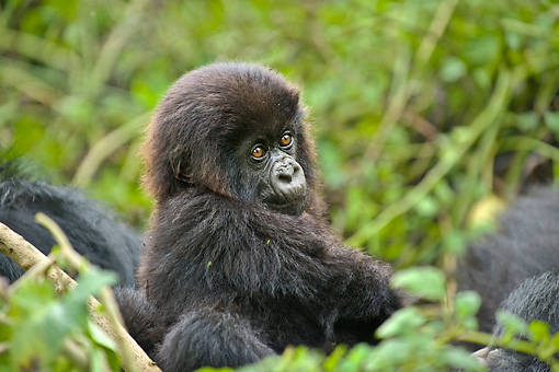 PRM 01 WF0016 01 © Kimball Stock Portrait Of Baby Mountain Gorilla Sitting In Jungle With Family