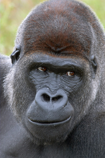PRM 01 WF0020 01 © Kimball Stock Head Shot Of Silverback Western Lowland Gorilla