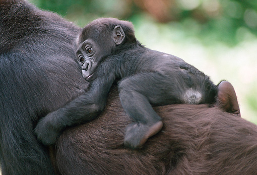 PRM 01 GR0001 01 © Kimball Stock Baby Lowland Gorilla Hanging On Mother's Back