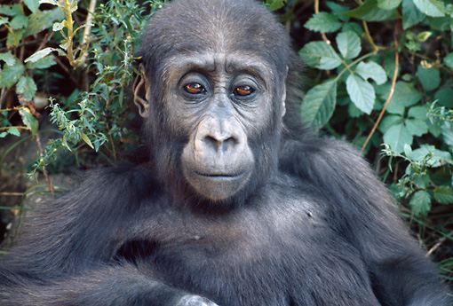 PRM 01 GR0003 01 © Kimball Stock Close-Up Of Juvenile Gorilla Sitting By Foliage