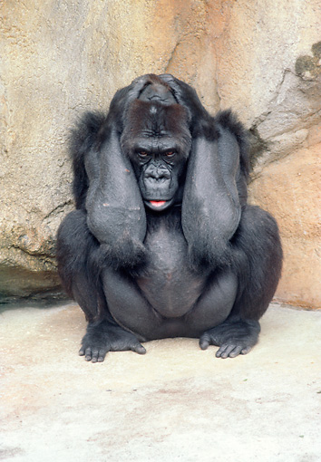 PRM 01 GR0004 01 © Kimball Stock Lowland Gorilla Sitting Huddling By Rock Holding Head In Arms