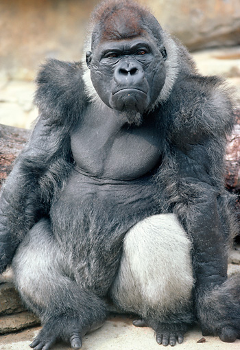 PRM 01 GR0006 01 © Kimball Stock Close-Up Of Lowland Gorilla Frowning Sitting On Rock