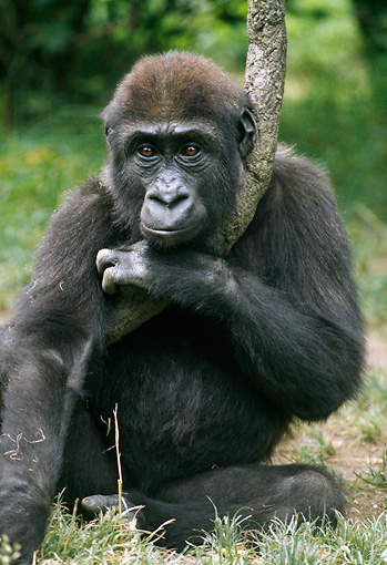 PRM 01 GR0013 01 © Kimball Stock Juvenile Gorilla Sitting By In Grass Holding Tree Trunk