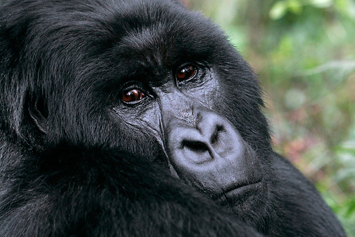 PRM 01 KH0001 01 © Kimball Stock Head Shot Of Silverback Mountain Gorilla Looking Over Shoulder