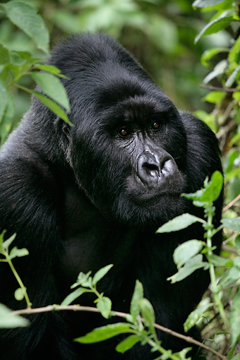 PRM 01 KH0002 01 © Kimball Stock Head Shot Of Silverback Mountain Gorilla Looking Through Foliage