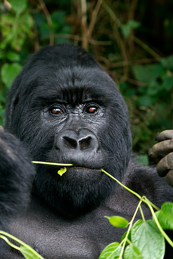 PRM 01 KH0003 01 © Kimball Stock Head Shot Of Silverback Mountain Gorilla Eating Plant