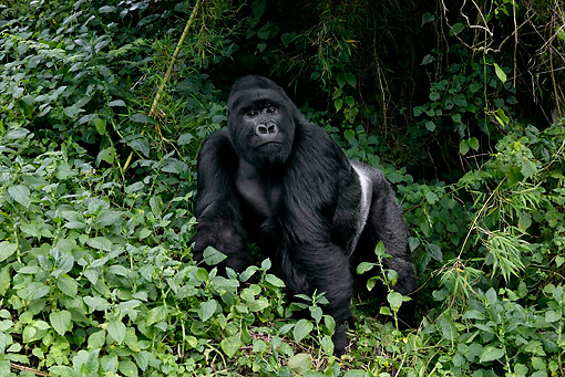 PRM 01 KH0004 01 © Kimball Stock Silverback Mountain Gorilla Standing In Foliage