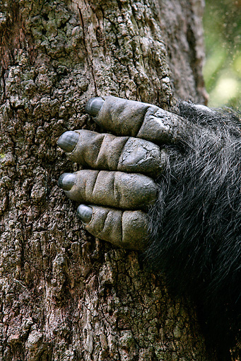 PRM 01 KH0008 01 © Kimball Stock Close-Up Of Mountain Gorilla's Hand On Tree Trunk
