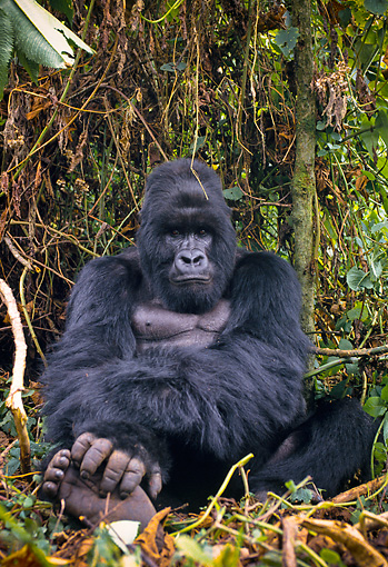 PRM 01 NE0001 01 © Kimball Stock Mountain Gorilla Resting In Jungle Rwanda