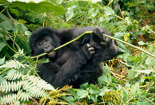 PRM 01 NE0005 01 © Kimball Stock Juvenile Mountain Gorilla Foraging In Jungle Rwanda