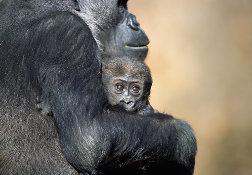 PRM 01 RD0016 01 © Kimball Stock Mother Western Lowland Gorilla Holding Baby