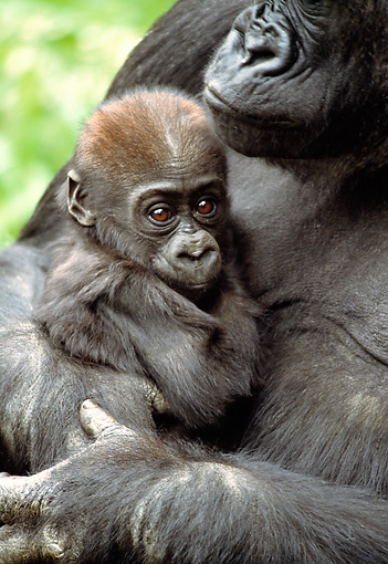 PRM 01 RD0017 01 © Kimball Stock Mother Western Lowland Gorilla Holding Baby