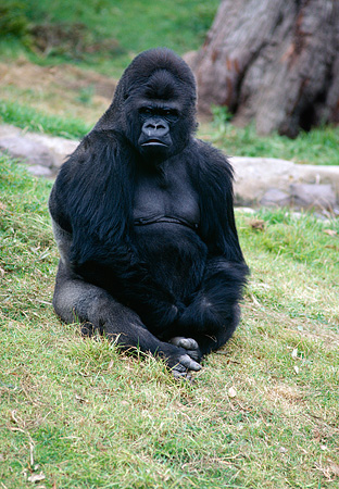 PRM 01 RK0021 02 © Kimball Stock Silverback Gorilla Sitting On Grass
