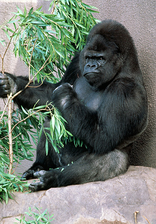 PRM 01 RK0026 10 © Kimball Stock Silverback Gorilla Sitting On Rock Eating Bamboo