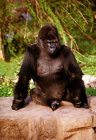 PRM 01 RK0028 03 © Kimball Stock Silverback Gorilla Sitting On Rock