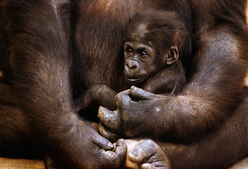 PRM 01 TL0002 01 © Kimball Stock Baby Lowland Gorilla Sitting In Mother's Arms