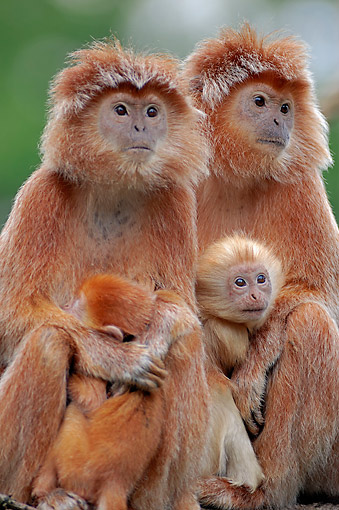 PRM 02 AC0065 01 © Kimball Stock Javan Lutung (Also Ebony Lutung Or Javan Langur) Monkey Female Adults And Babies Sitting