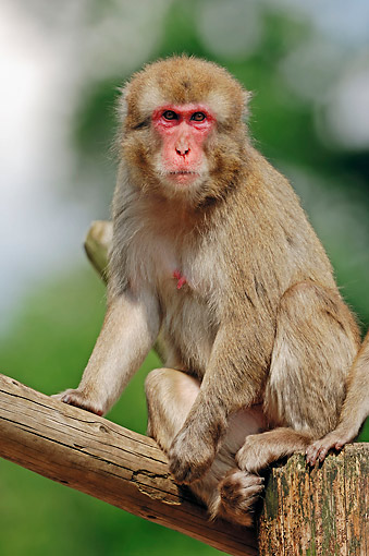 PRM 02 AC0066 01 © Kimball Stock Japanese Macaque Sitting In Tree