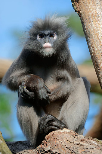 PRM 02 AC0068 01 © Kimball Stock Dusky Leaf Monkey (Also Called Spectacled Langur Or Spectacled Leaf Monkey) Sitting In Tree