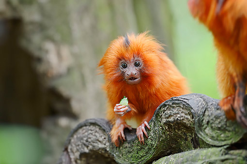PRM 02 AC0070 01 © Kimball Stock Golden Lion Tamarin Baby Sitting In Tree