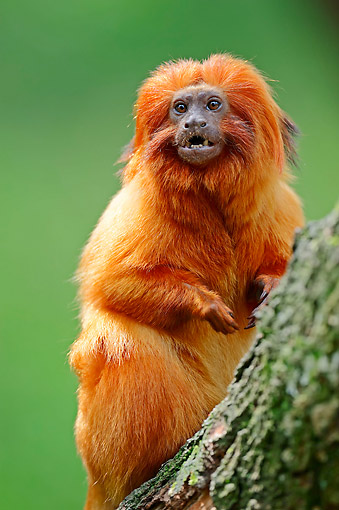 PRM 02 AC0071 01 © Kimball Stock Golden Lion Tamarin Sitting In Tree